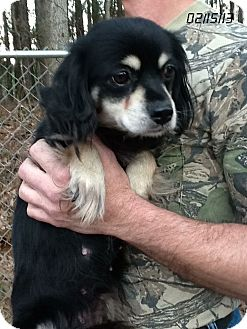 Cavalier King Charles Spaniel Mix Puppy for Sale in Springfield, Virginia - Trinity