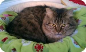 Maine Coon Cat for Sale in New Bedford, Massachusetts - Muffin