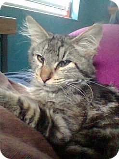 Maine Coon Kitten for Sale in Seminole, Florida - Vinnie