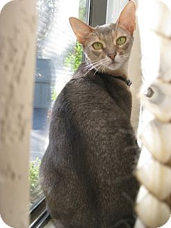 Abyssinian Cat for Sale in Vacaville, California - Dandelion