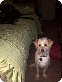 Terrier (Unknown Type, Small) Mix Dog for adption in Morgantown, West Virginia - Josh