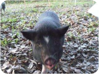 Pig (Potbellied) for adoption in Palm City, Florida - Chopper