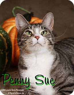 Domestic Shorthair Cat for adoption in Waterloo, Iowa - Penny Sue