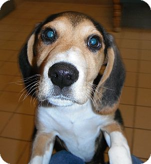 Beagle Mix Puppy for Sale in Jackson, Michigan - Spot