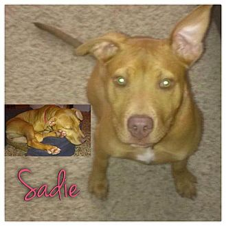 American Pit Bull Terrier Mix Puppy for Sale in Westland, Michigan - Sadie
