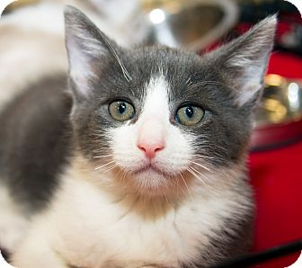 Domestic Shorthair Kitten for Sale in Irvine, California - Mr. Rogers