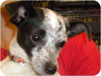Chihuahua/Terrier (Unknown Type, Small) Mix Dog for adption in Fresno, California - Kara