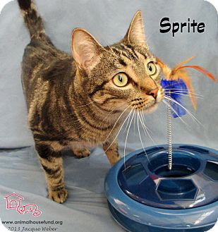 Domestic Shorthair Cat for adoption in St Louis, Missouri - Sprite