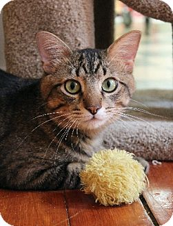 Domestic Shorthair Cat for adoption in Chicago, Illinois - Randy