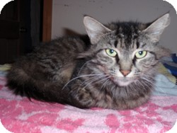 Maine Coon Cat for adoption in Loudonville, New York - Marla
