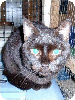 Domestic Shorthair Cat for adoption in Waldorf, Maryland - Obsidian