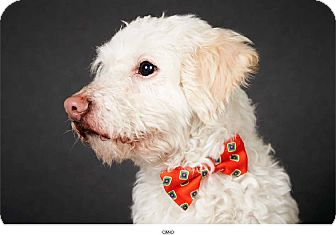 Poodle (Miniature) Mix Dog for Sale in New York, New York - Cano