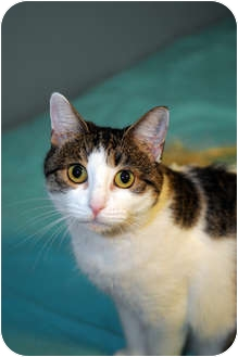 Domestic Shorthair Cat for adoption in Farmingdale, New York - Ellie