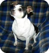 Chihuahua/Rat Terrier Mix Dog for Sale in Clear Lake, Washington - Bo