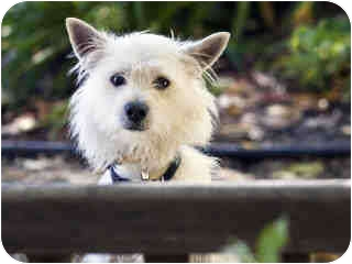 Westie, West Highland White Terrier Mix Dog for Sale in Agoura, California - Casper