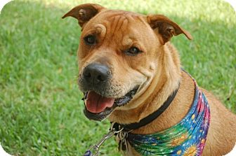 Shar Pei/American Pit Bull Terrier Mix Dog for adption in Pearland, Texas - Itchiban