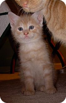 Domestic Shorthair Kitten for Sale in Sterling, Virginia - Clem