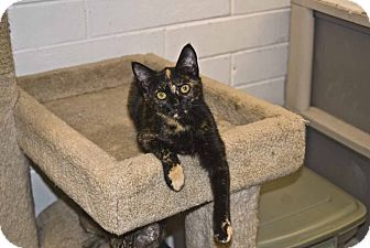 Domestic Shorthair Cat for Sale in Elfers, Florida - Kate