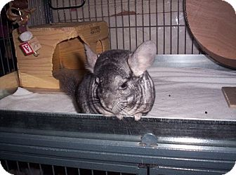 Chinchilla for Sale in Avondale, Louisiana - Maggie