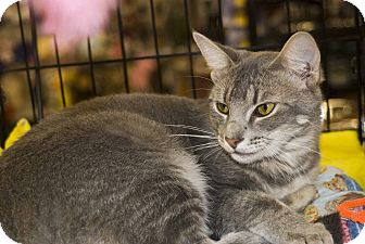 Domestic Shorthair Cat for adoption in Elfers, Florida - Astro