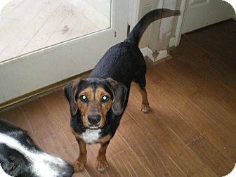Beagle/Hound (Unknown Type) Mix Dog for Sale in Apex, North Carolina - Cofax