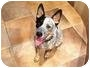 Adopt A Pet :: Gunner - Gilbert, AZ