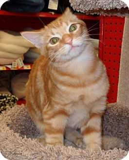Domestic Shorthair Kitten for Sale in Phoenix, Arizona - Dax
