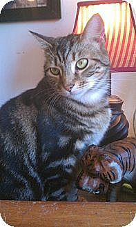 American Shorthair Cat for adoption in Greenville, North Carolina - Brisbane