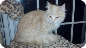 Domestic Mediumhair Kitten for Sale in Raritan, New Jersey - Champ