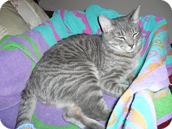 Domestic Shorthair Cat for Sale in Braselton, Georgia - *Henry