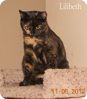 Domestic Shorthair Cat for Sale in Olmsted Falls, Ohio - Lilibeth-COURTESY POST