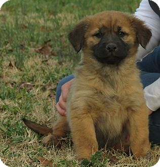 Golden Retriever/Mastiff Mix Puppy for Sale in Glastonbury, Connecticut - Truley~adopted~