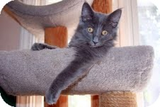Domestic Mediumhair Kitten for Sale in Arlington, Virginia - Marvin