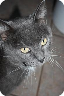 American Shorthair Cat for adoption in Stilwell, Oklahoma - Kit-Kat