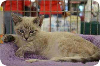 Siamese Cat for adoption in Chino, California - Max