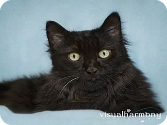 Maine Coon Cat for Sale in Phoenix, Arizona - Big Papi