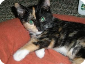 Domestic Shorthair Kitten for Sale in Salem, New Hampshire - Lila & Lulu