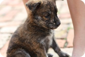 German Shepherd Dog Mix Puppy for Sale in Lighthouse Point, Florida - Carly