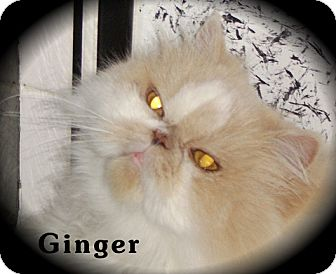 Persian Cat for Sale in Beverly Hills, California - Ginger (Front Paw Declaw)