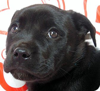 Labrador Retriever Mix Puppy for Sale in Thousand Oaks, California - Smooches
