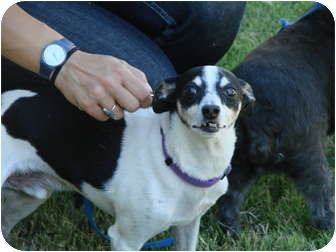 Rat Terrier Mix Dog for Sale in Chandler, Arizona - Gumby