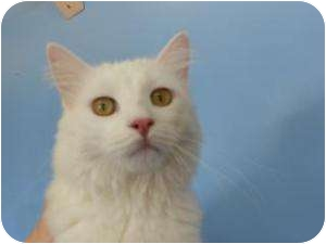 Domestic Mediumhair Cat for adoption in Fort Collins, Colorado - Felicia