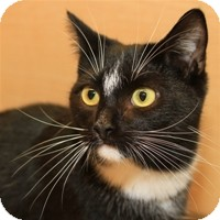 Domestic Shorthair Cat for Sale in Albany, New York - Cabot