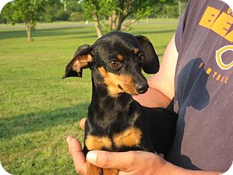 Dachshund/Chihuahua Mix Puppy for Sale in Salem, New Hampshire - Peeta 5 pounds!