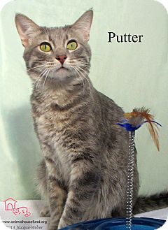 Domestic Shorthair Cat for adoption in St Louis, Missouri - Putter
