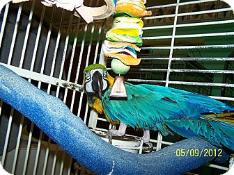 Macaw for Sale in Lexington, Georgia - BJ