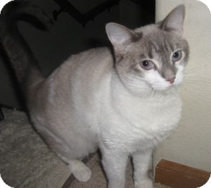Siamese Cat for Sale in Colorado Springs, Colorado - Caspera