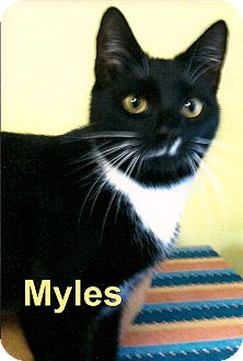 Domestic Shorthair Cat for Sale in Medway, Massachusetts - Myles