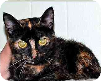 Domestic Shorthair Cat for adoption in Apex, North Carolina - Leesha