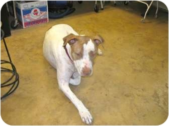 American Bulldog/Pointer Mix Dog for Sale in Scottsdale, Arizona - Fred